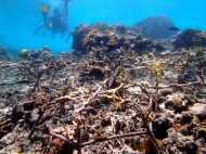 "Coral restoration using rebar cages or ""spiders"" to anchor healthy coral"