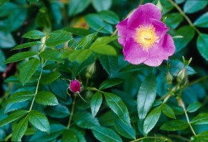 wild-rose-782x534
