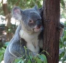 Alert koala