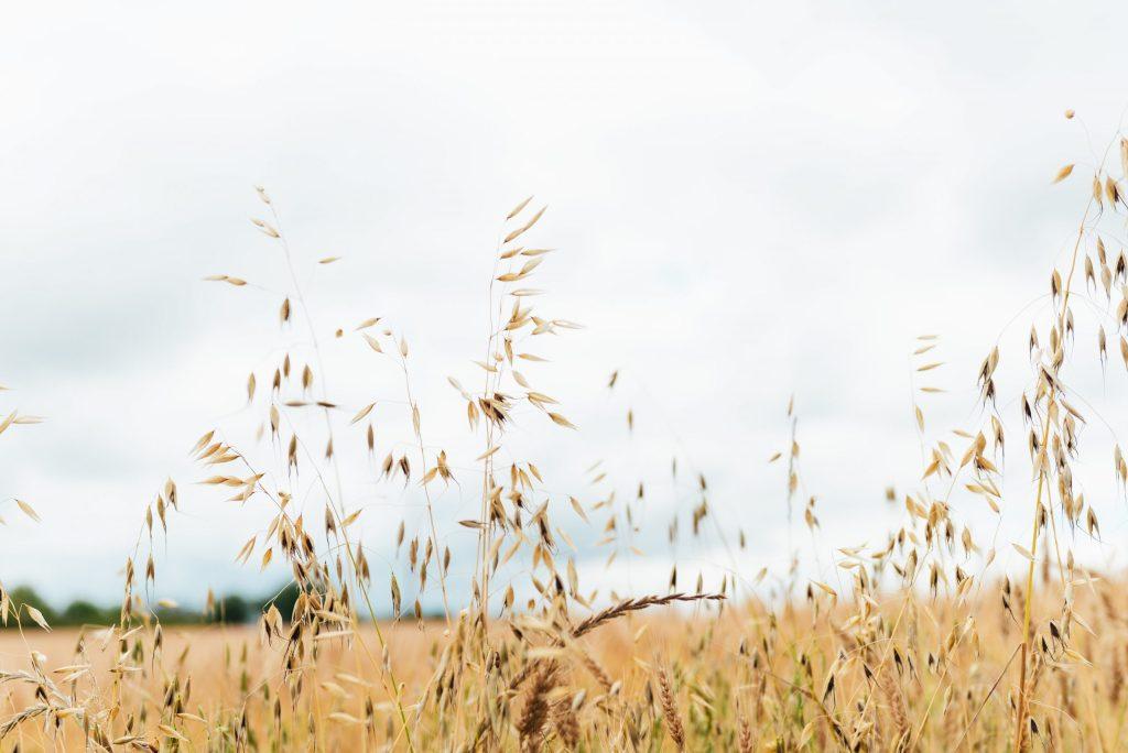 wheat field in overcast light