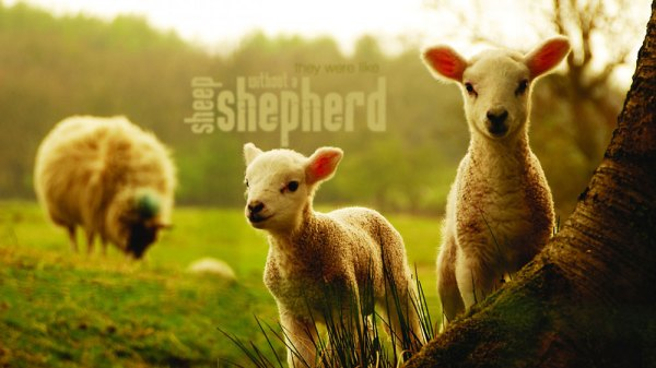 Sheep-without-a-shepher