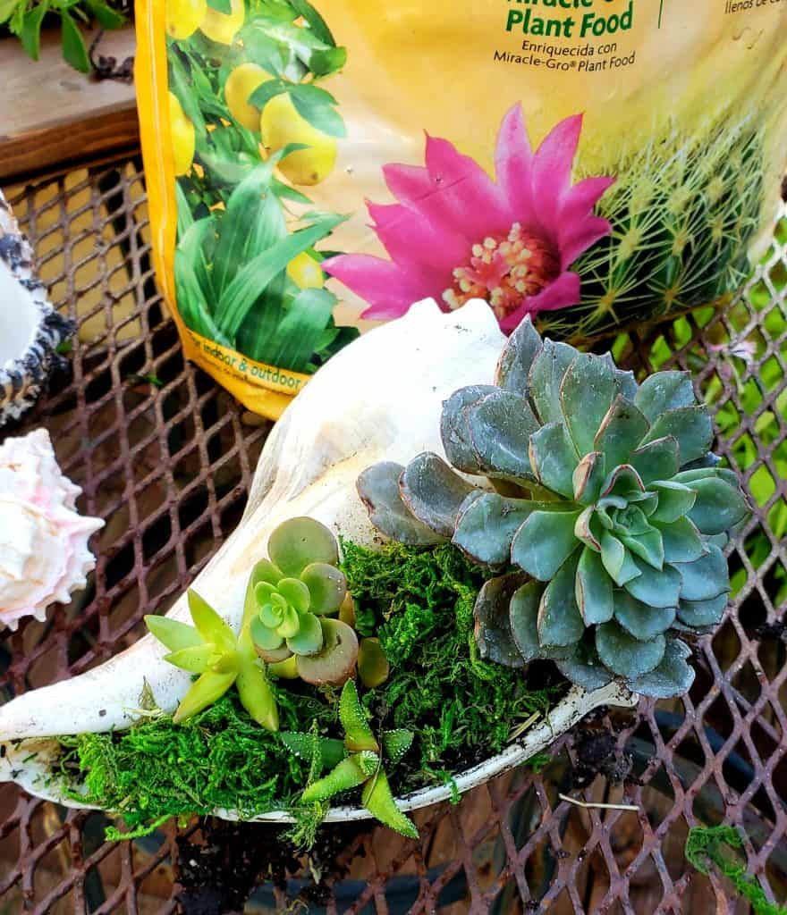 DIY Christmas Gift Succulent planter-Sanddollarlane