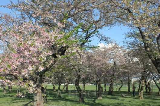 Cherry Blossoms...heavenly!