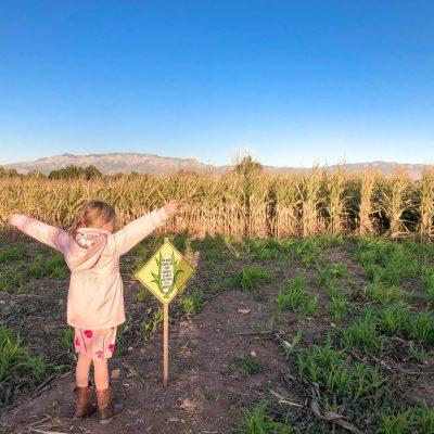 Albuquerque Corn Maze