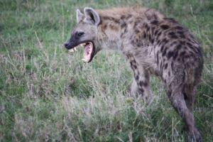 hyena-snarl