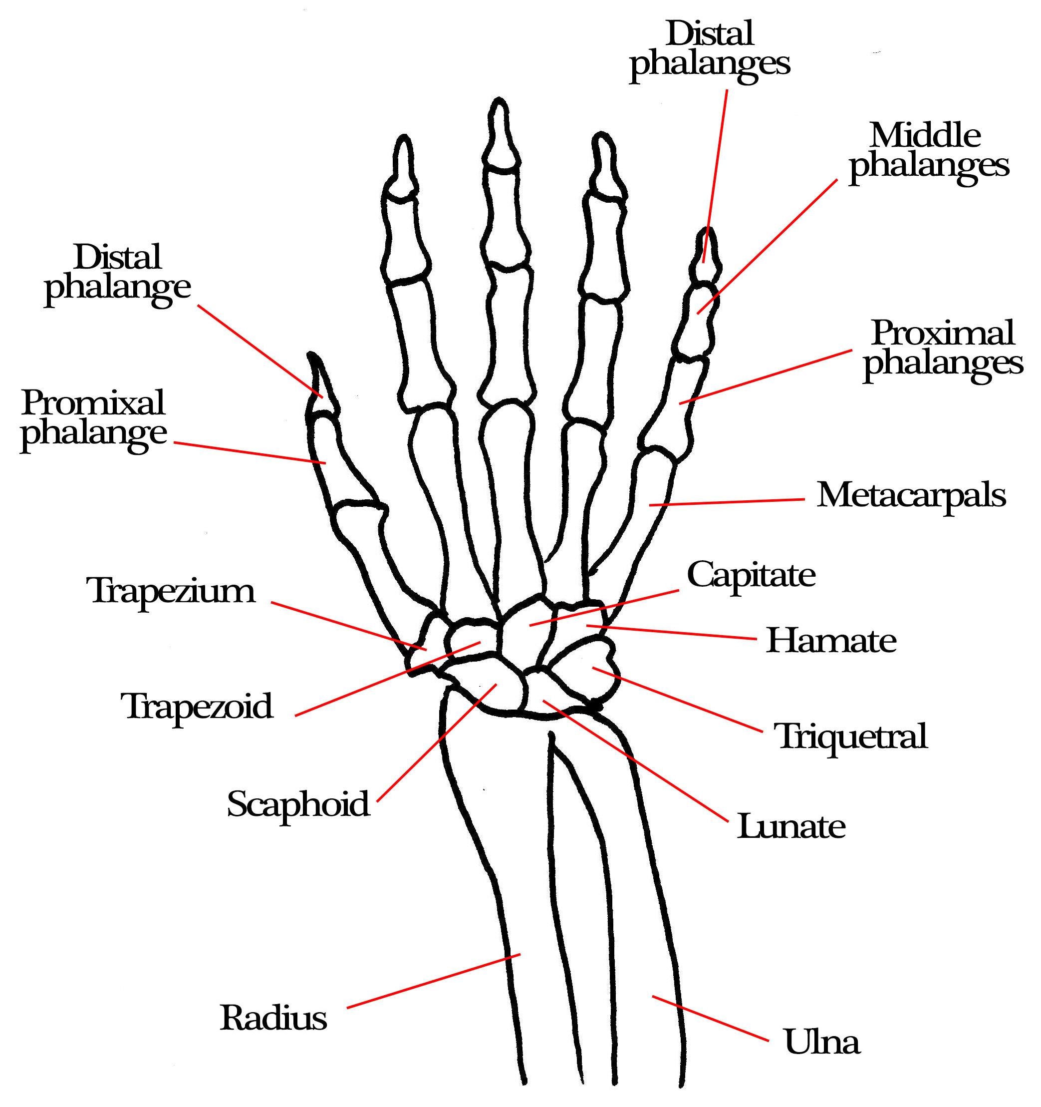 Bones Of The Arm Amp Hand