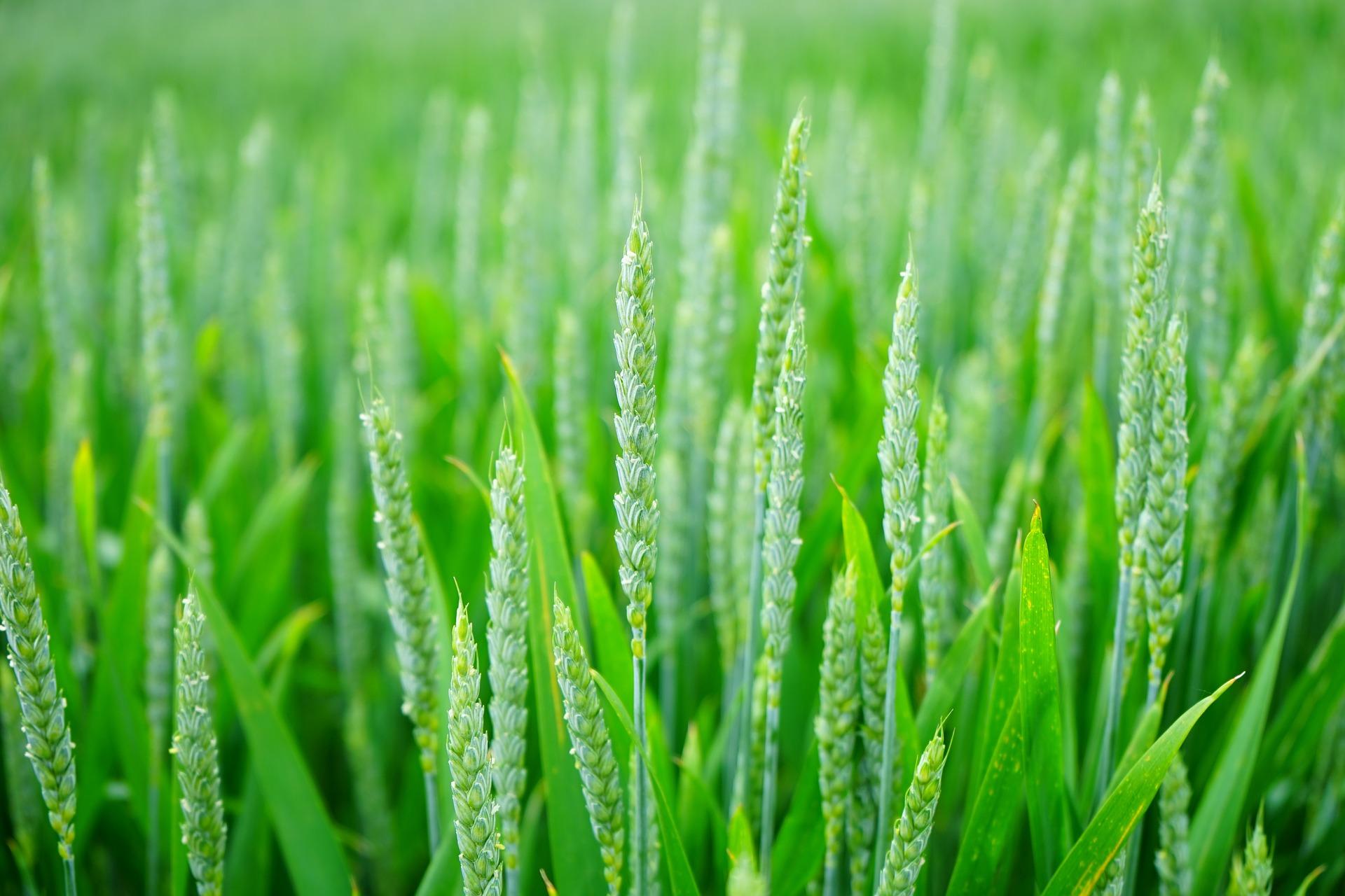 wheat-1117267 1920