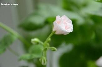 Pelargonium Hortorum Flower