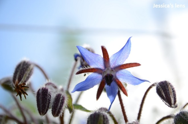 Starflower, Mecanopsis betonicifolia
