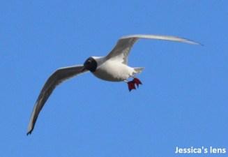 Blach-headed gull