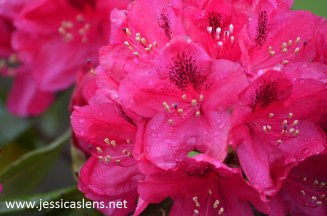 Rhododendron cherise
