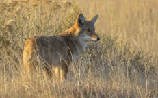 Coyote in a field looking at a distant object or food