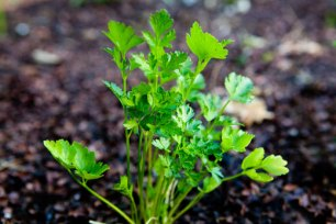 garden-parsley-a