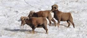 Colorado Rocky Mountain Big Horn Sheep 061