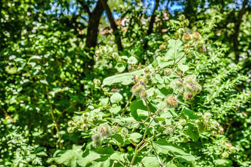 foraging in central park for burdock