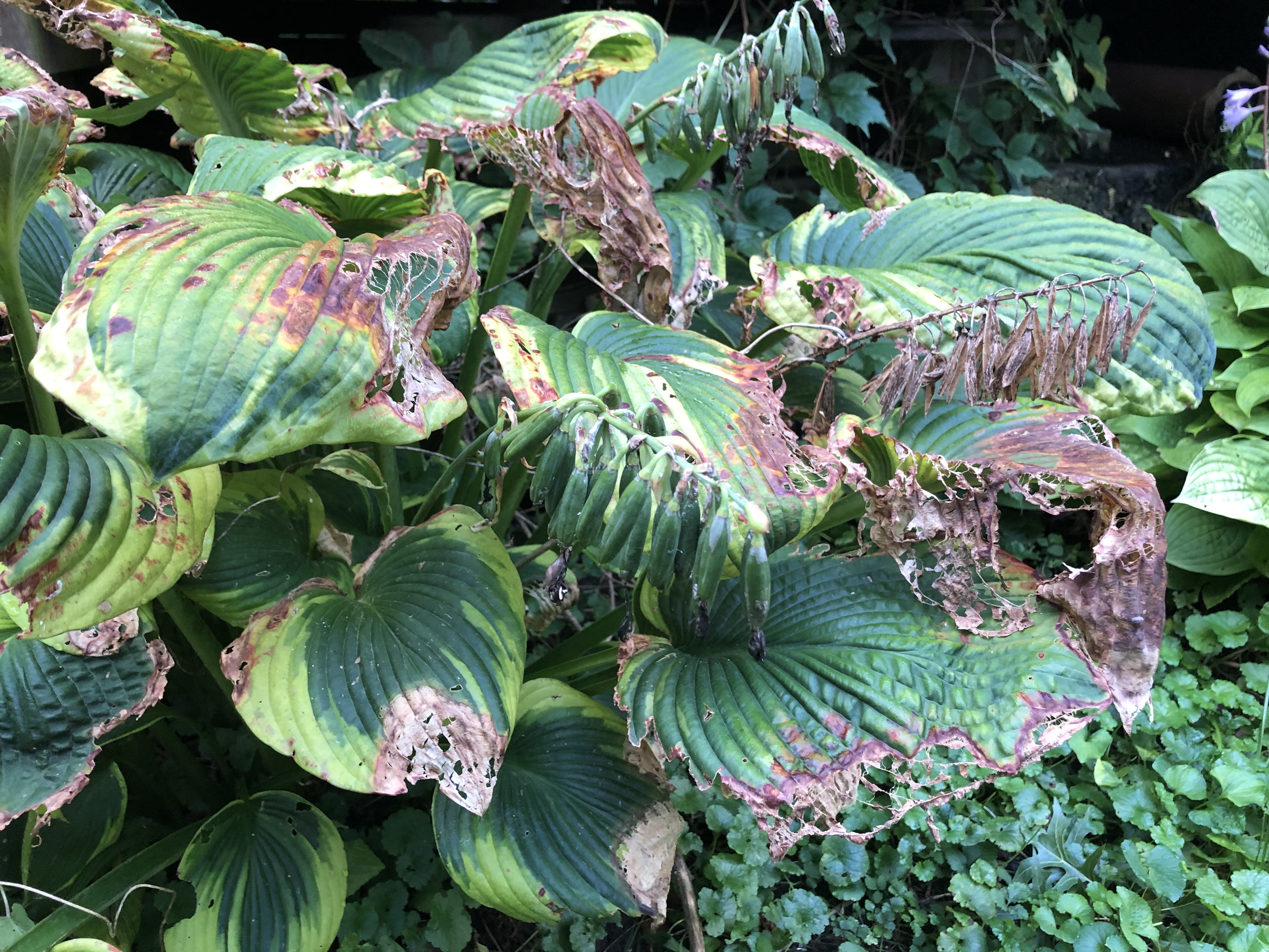 a leafy plant where the edges of the leaves are dying