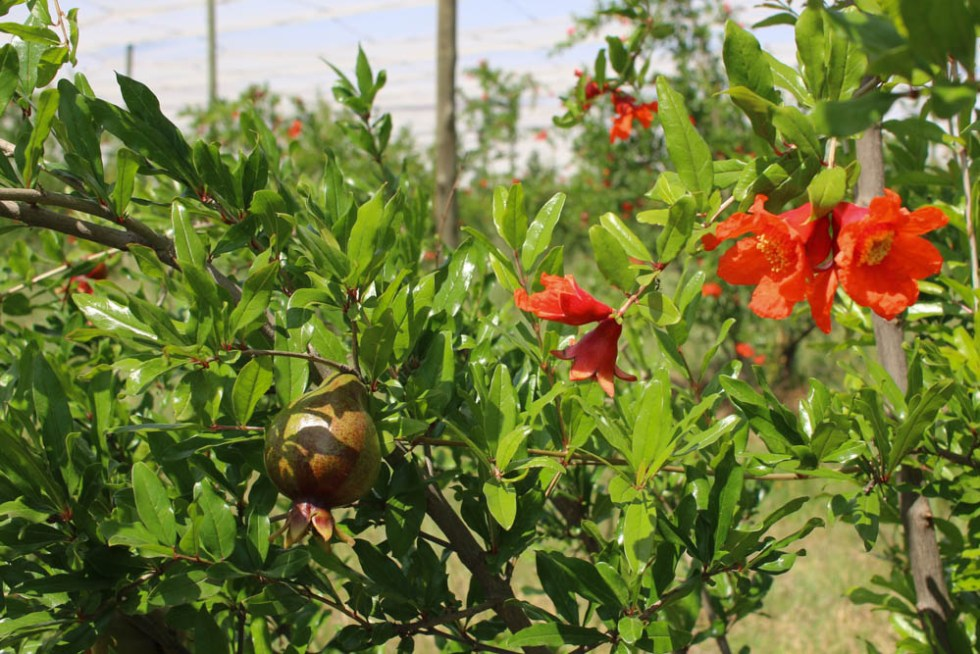 pomegranate-tree-johannesburg-1