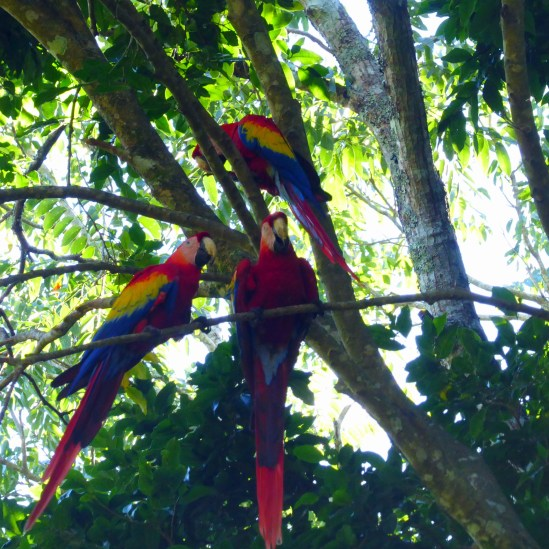 Copán Ruins - The Macaws