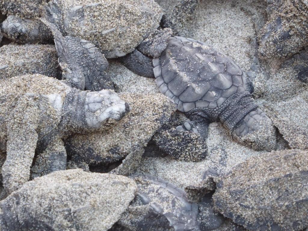releasing baby turtles tortuga verde hotel el salvador el cuco