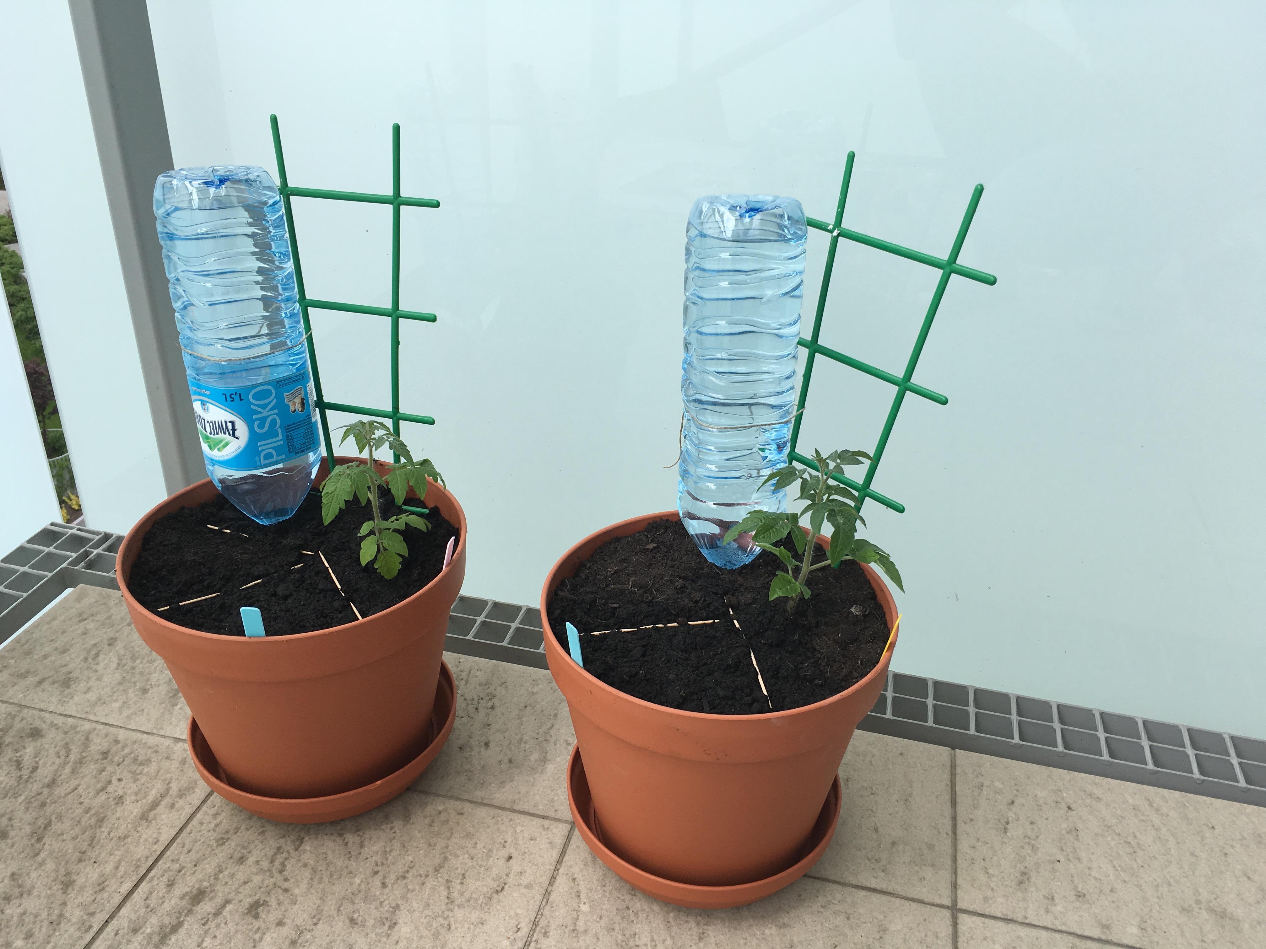 Jak sadzić pomidory na balkonie?