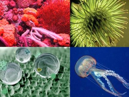 Korallen, Klette, Lotus, Qualle