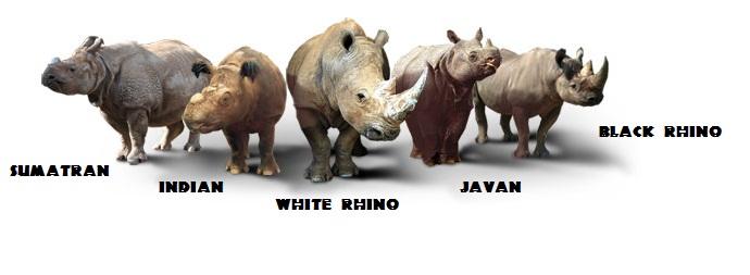 Anatomy And Appearance Endangered Sumatran Rhino