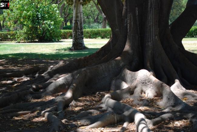 Raíces de un ficus en el Parque de los Príncipes de Sevilla