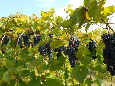 grapes-fall-late-2011-jthull