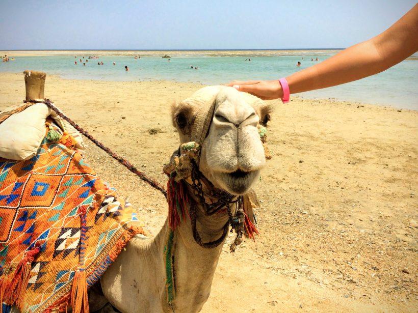 Wielbłąd to zwierzę, które trzeba zobaczyć w Egipcie!