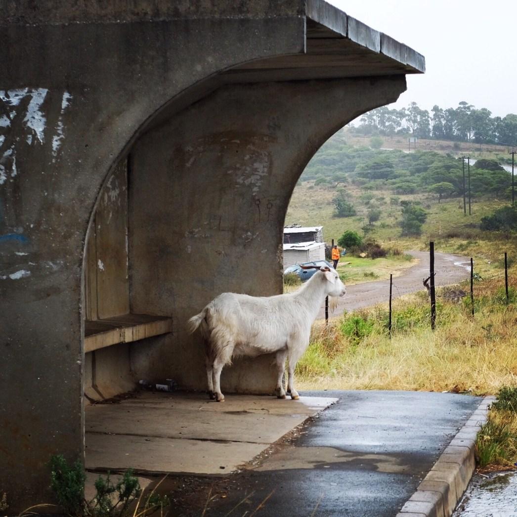 East Chintsa goat