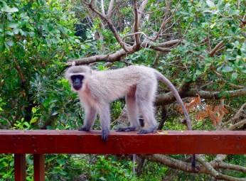 East Chintsa monkey 2