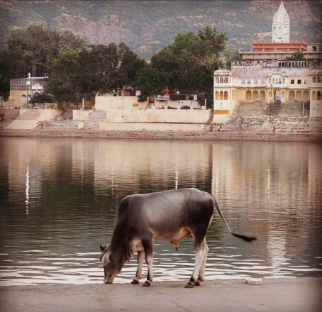 Pushkar-Lake-with-cow