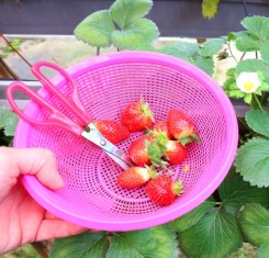 strawberries-cameron-highlands