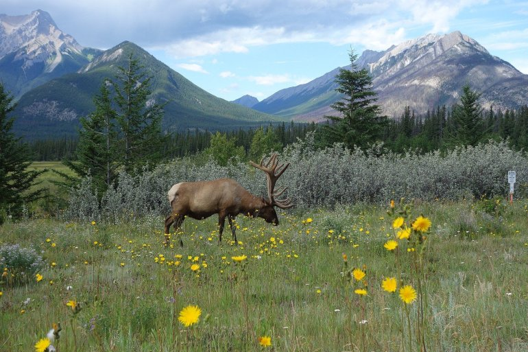 An elk grazes in a field in front of mountains.