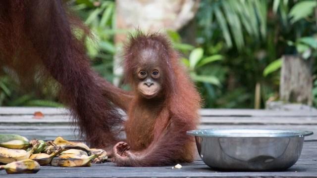 Borneo Island Sabah, Animals on the island. Orangutan