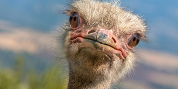 Potrait of a diagonal Ostrich Head in Natural Environment. The Ostrich or Common Ostrich (Struthio camelus) is either one or two species of large flightless birds native to Africa
