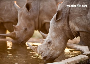 Rhinos at a watering hole, Kruger National Park