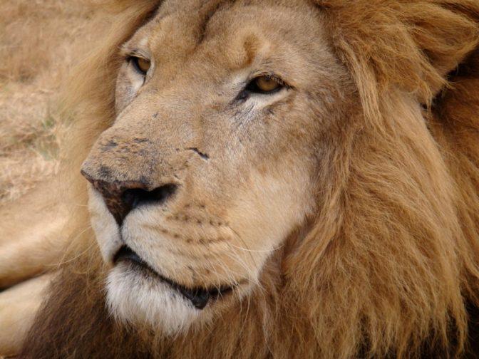 Adult male lion at Antelope Park Zimbabwe