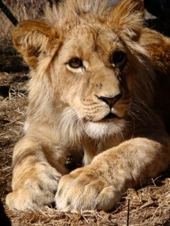 Damisi after a lion walk at Antelope Park Zimbabwe