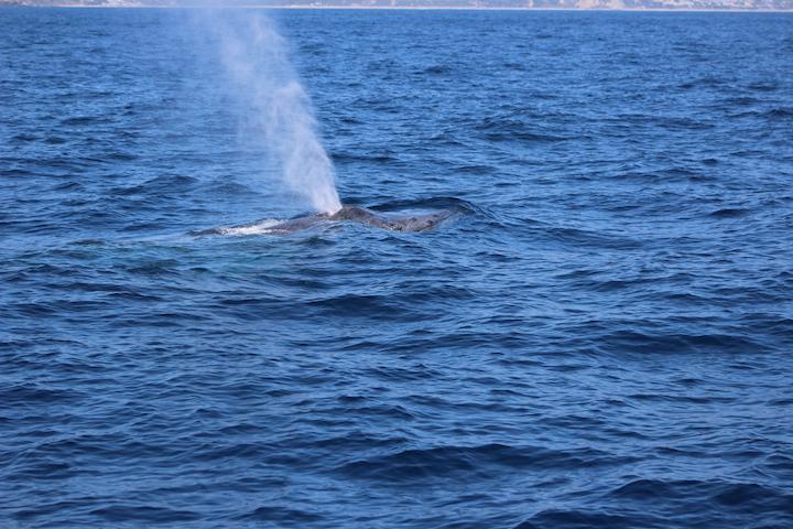 52 Foot Humpback Whale | Dana Point Wharf Whale Watching + Sportsfishing