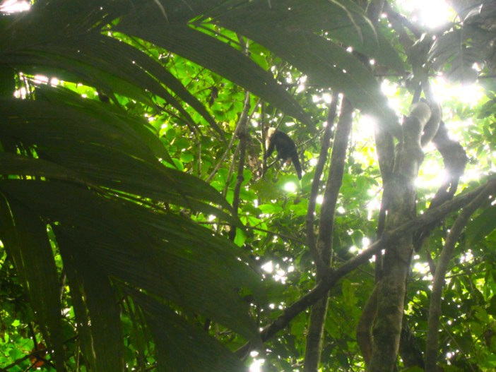 Costa Rica monkey 1
