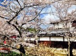 Cherry blossoms in Kyoto are vast, traditional and dreamy. It is a once in a lifetime experience to wanderlust through the streets of Kyoto during the months of March through May. This is a must for anyone looking for a pretty and fantastical getaway. Just like stepping inside a time capsule.