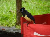 Plush Crested Jay hanging out with tourists during lunchtime