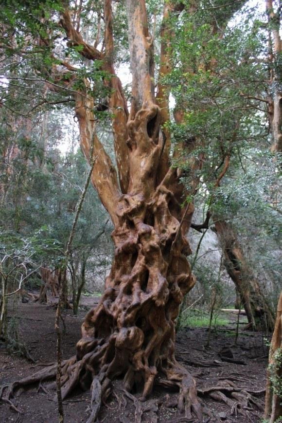 Bosque de Arrayanes at Parque Municipal Llao-Llao in Bariloche, Argentina