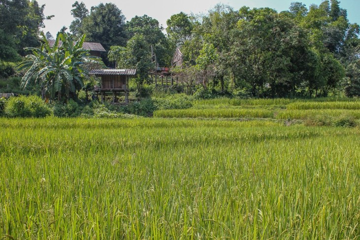Rice field and huts in Chiang Mai, Thailand