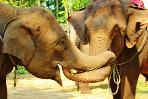 Two elephants with intertwined trunks in Chiang Mai, Thailand