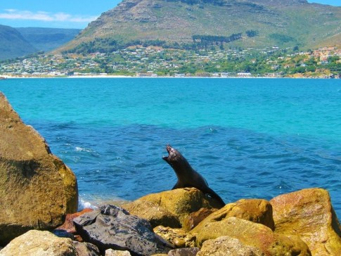 Barking seal at harbor in Hout Bay, Cape Town, South Africa