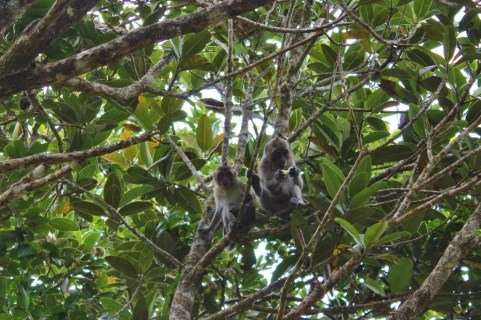 Monkeys in tree at Black River Gorges National Park on Mauritius