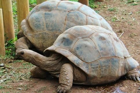 Two tortoises at Chamarel, Mauritius