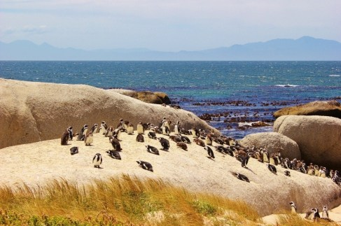 African Penguin Colony on rocks at Boulders Beach near Cape Town, South Africa